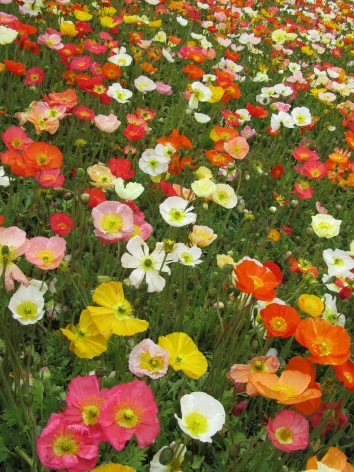 Colour show of poppies
