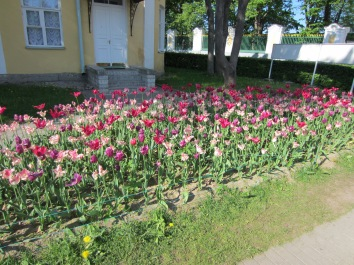 St. Petersburg flowerbed of tulips